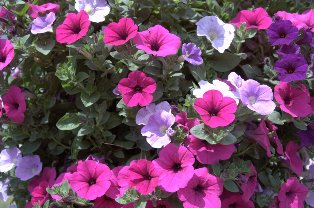 Purple flowers in hanging basket photography by cybershutterbug purple flowers in hanging basket mightylinksfo