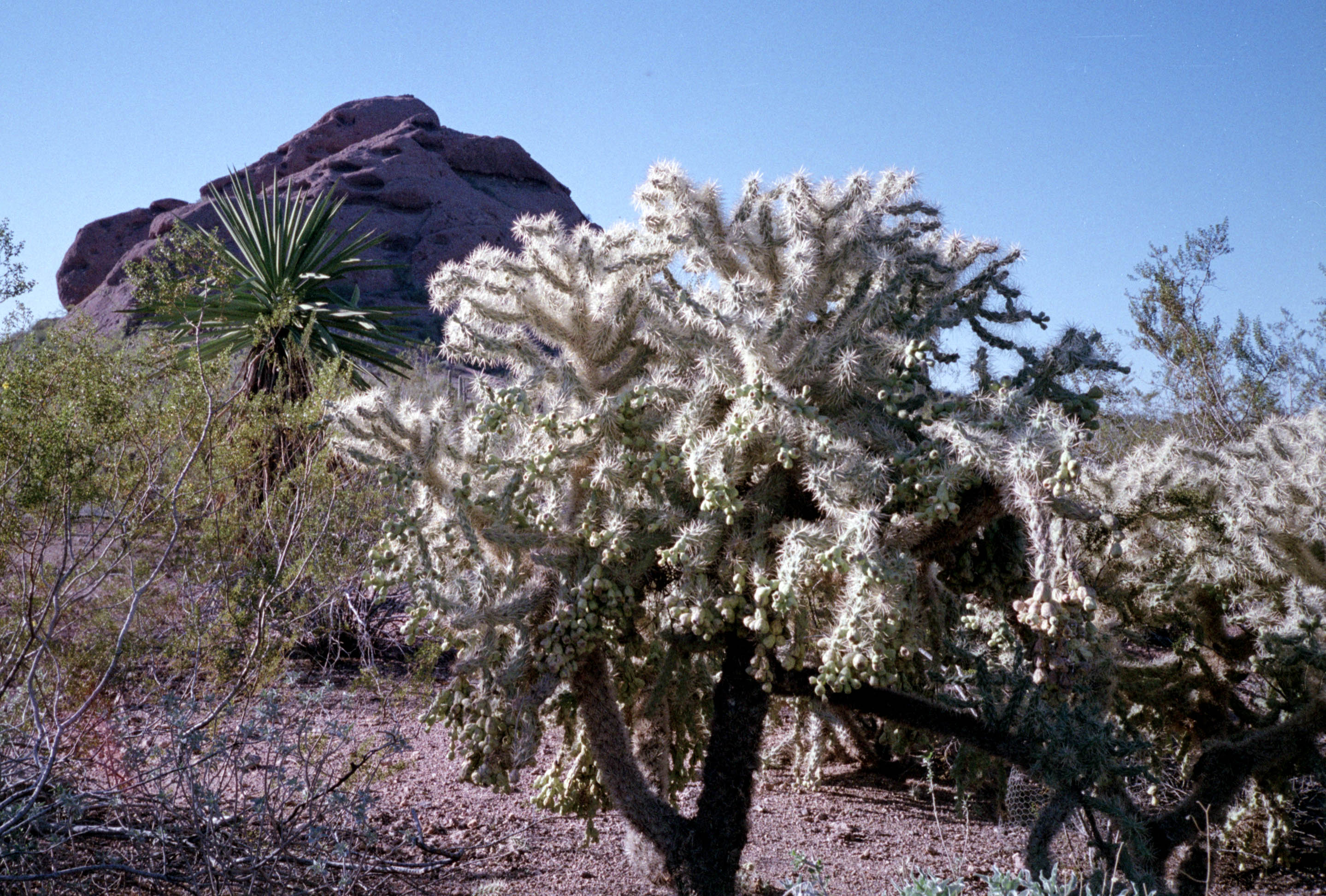 Cholla and Mountain