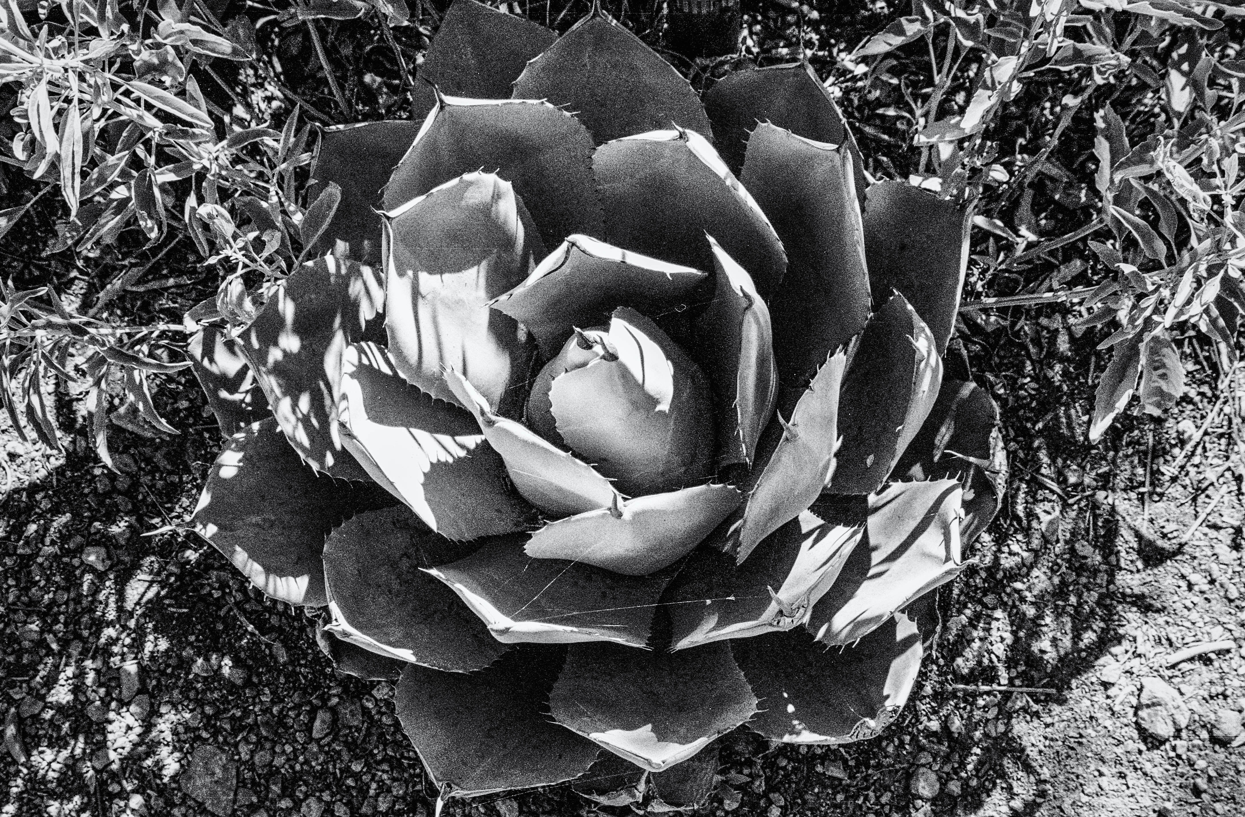 Agave in the Wild