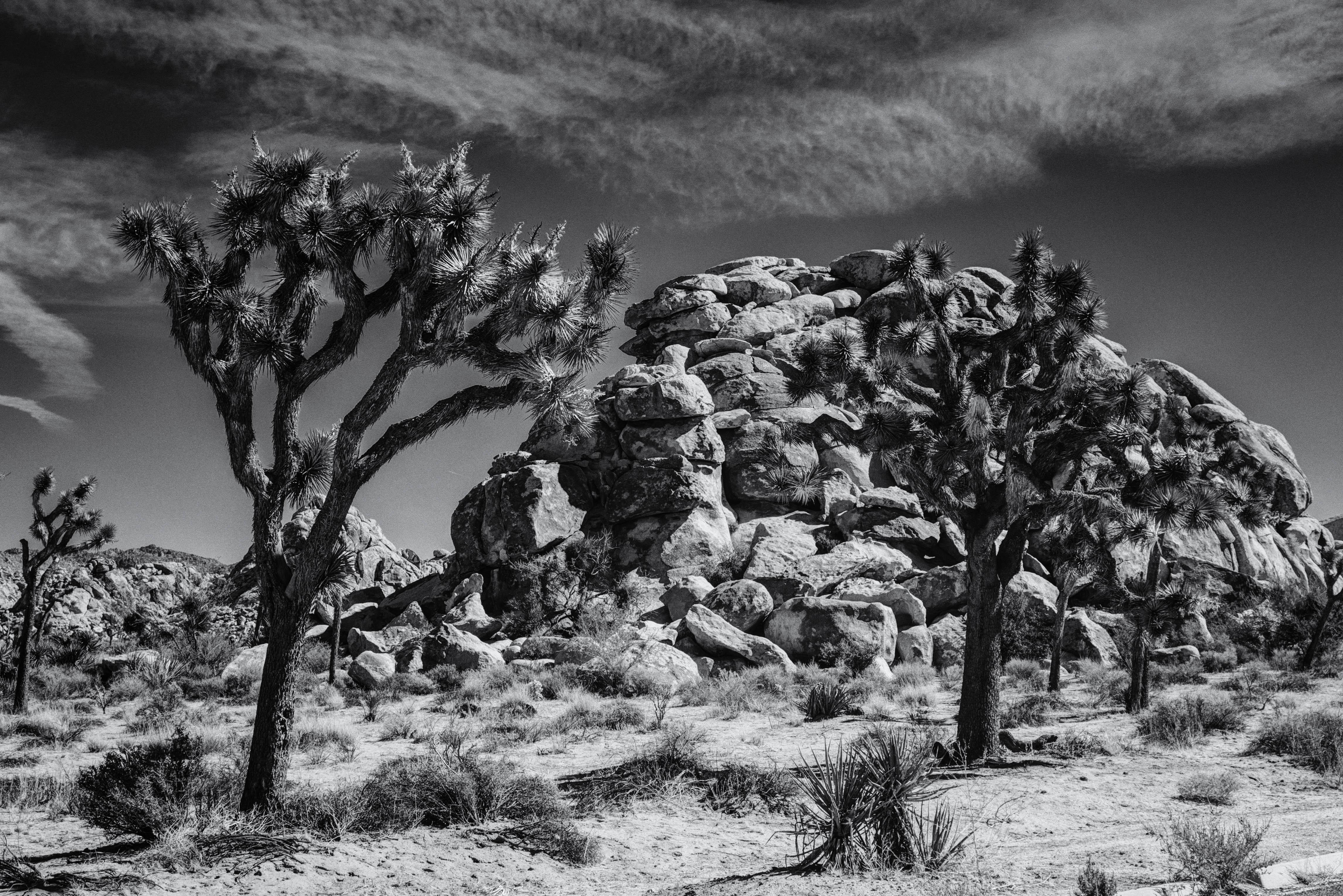 joshua-trees-and-rocks-bw