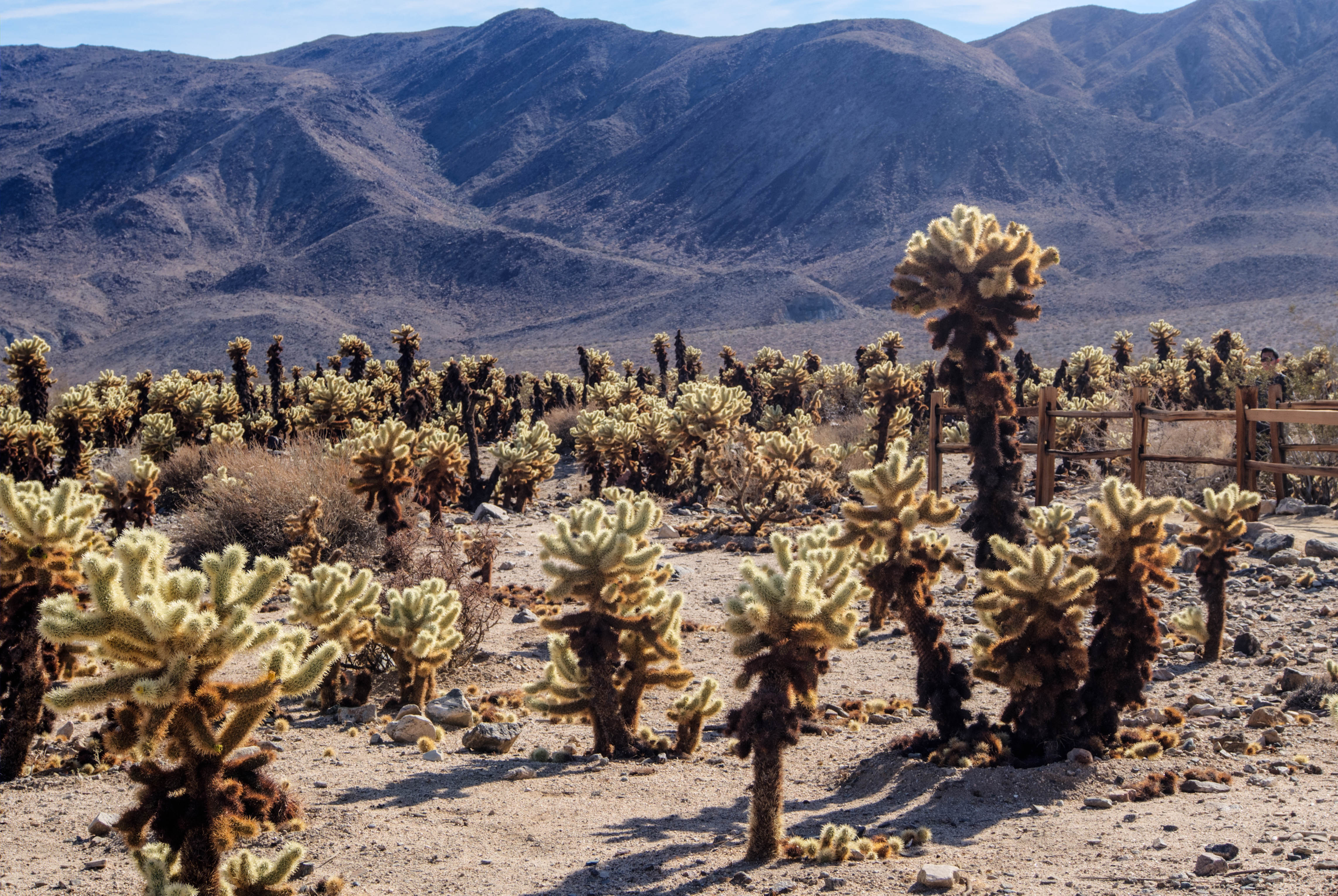 king-of-the-cholla